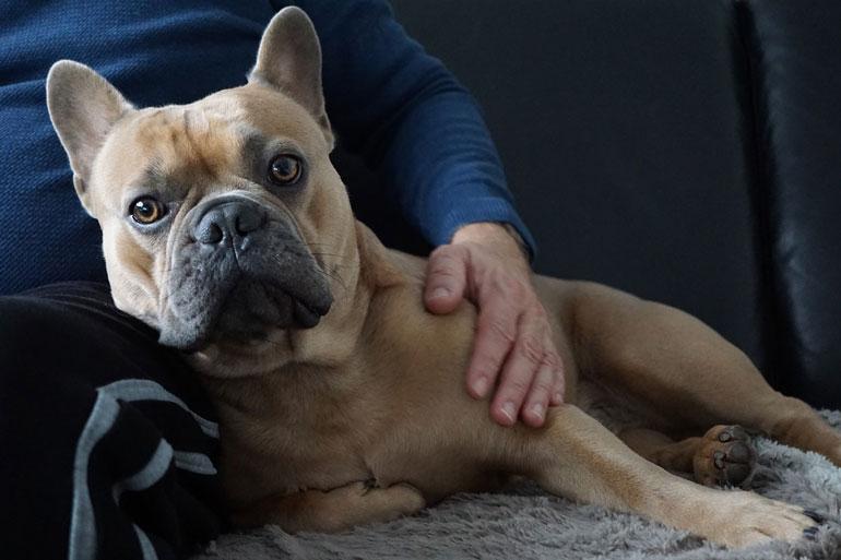 Bulldogge mischlinge französische Französische Bulldogge/…