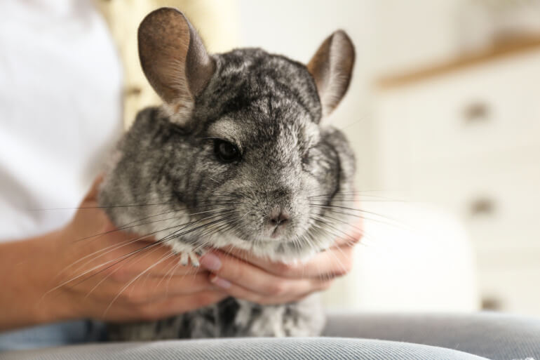 Chinchilla im Arm