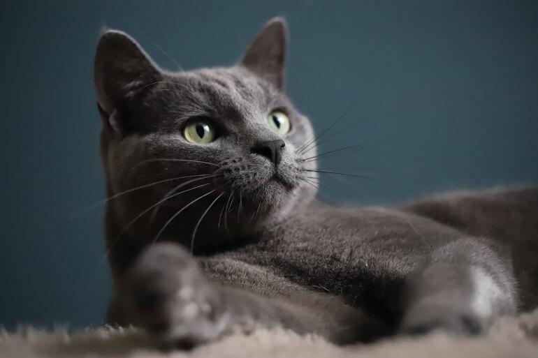 Russisch Blau Katze im Liegen