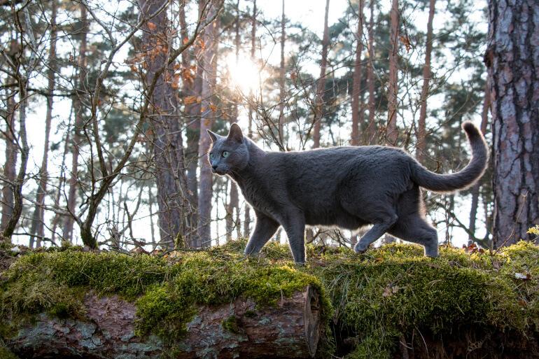 Russisch Blau Katze in der Natur