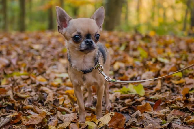 Chihuahua an der Leine