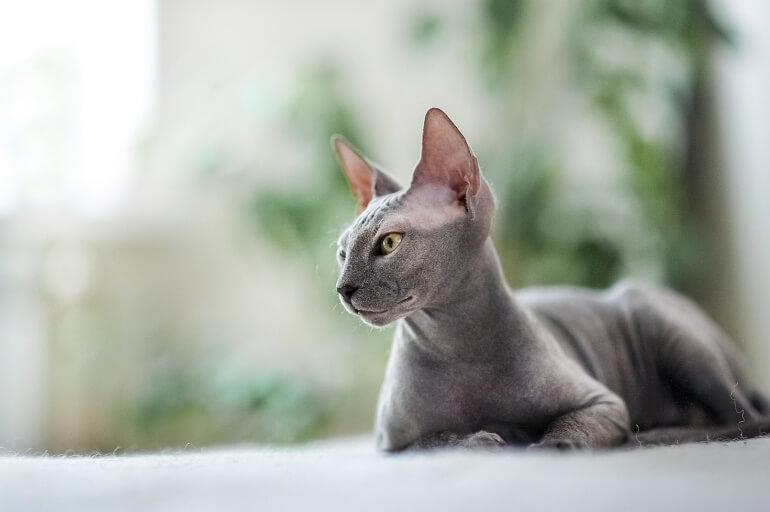 Sphynx Katze im Liegen auf Teppich