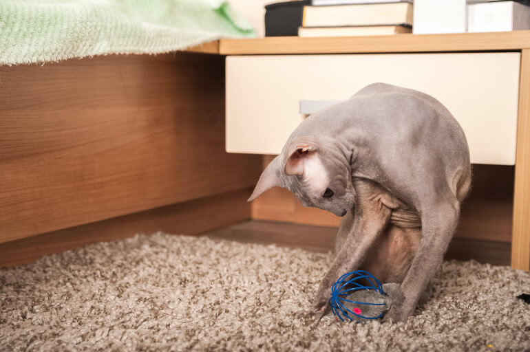 Sphynx Katze mit Spielzeug