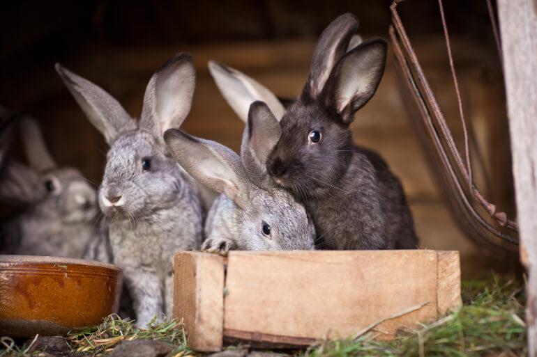 Viele Kaninchen im Stall