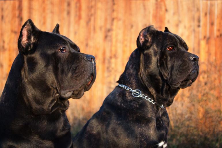 Zwei Cane Corso Hunde