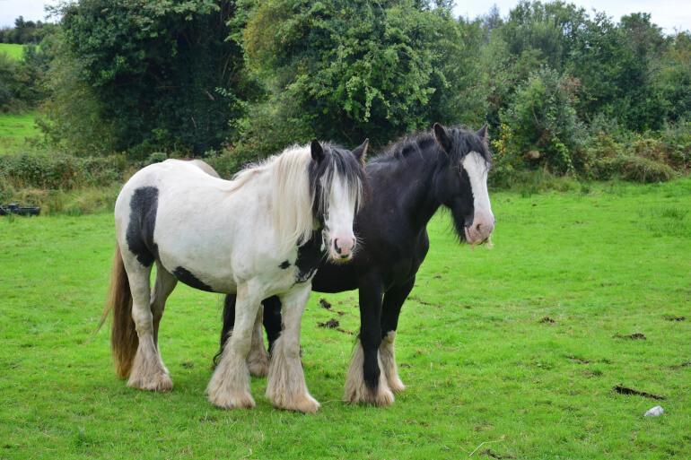 Zwei Tinker Pferde