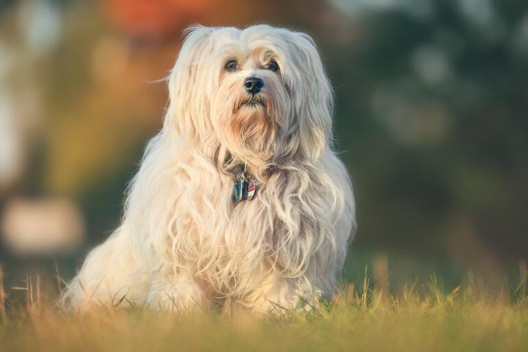 Havaneser Hund ausgewachsen