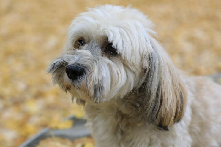 Havaneser Hund im Freien