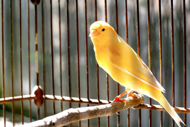 Kanarienvogel gelb in Kaefig