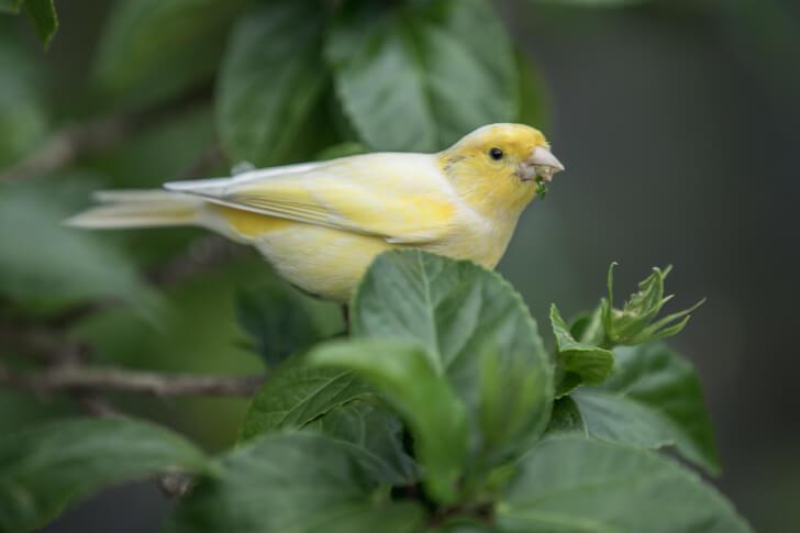 Kanarienvogel im Freien