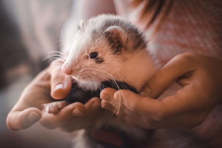 Frettchen in den Armen des Besitzers