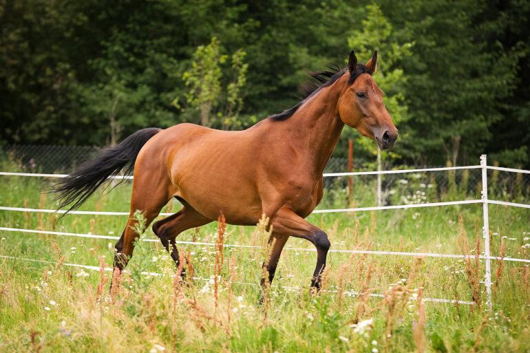 Hannoveraner Pferd beim Galoppieren