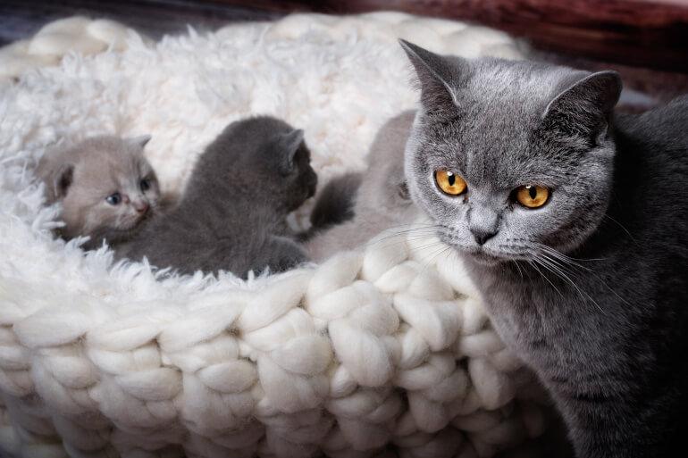 Kartaeuser Katze mit Jungtieren