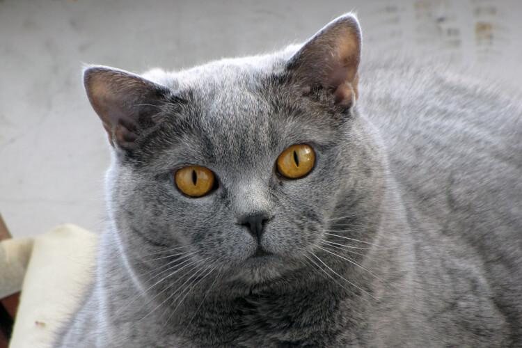 Kartaeuser Katze