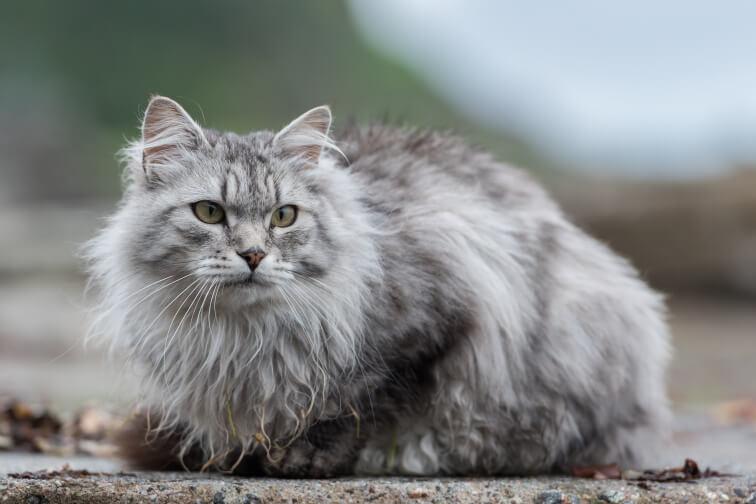 Sibirische Katze im Freien