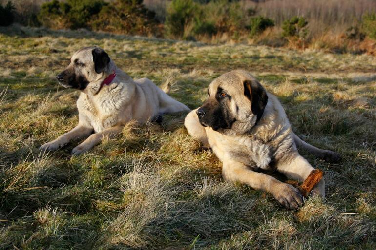Zwei Kangal Hunde