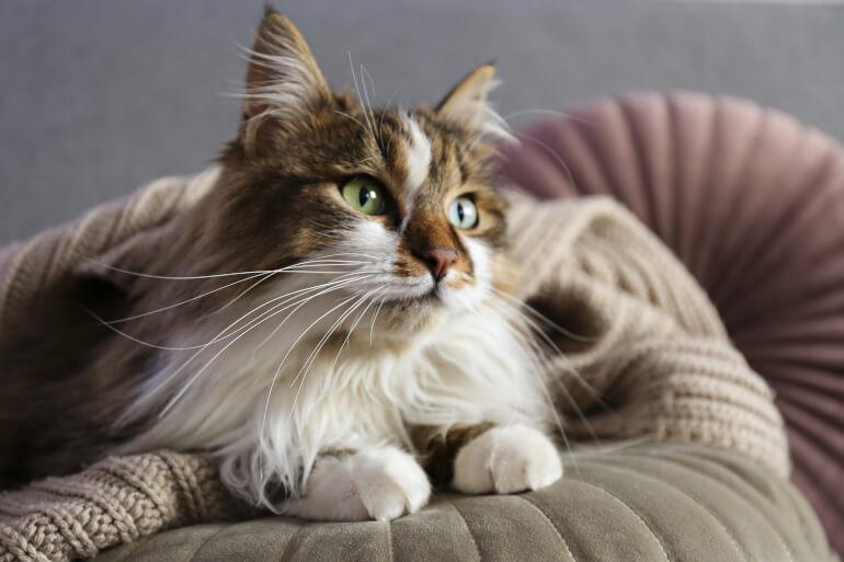 sibirische Katze zuhause