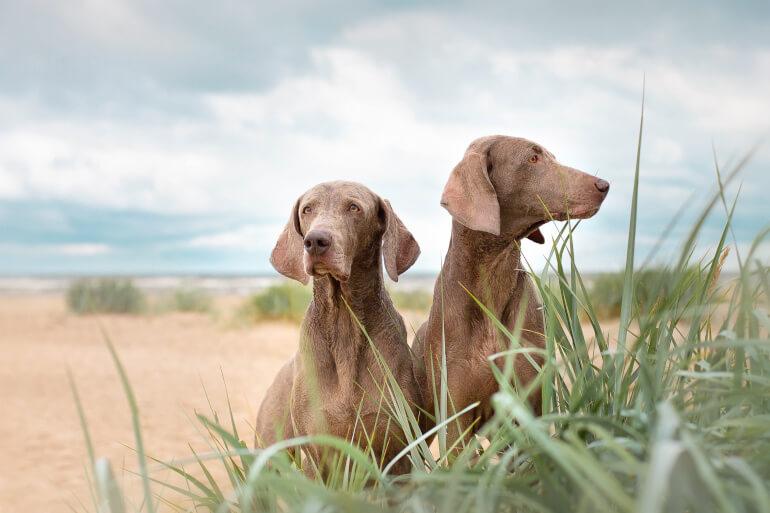 zwei weimaraner am strand