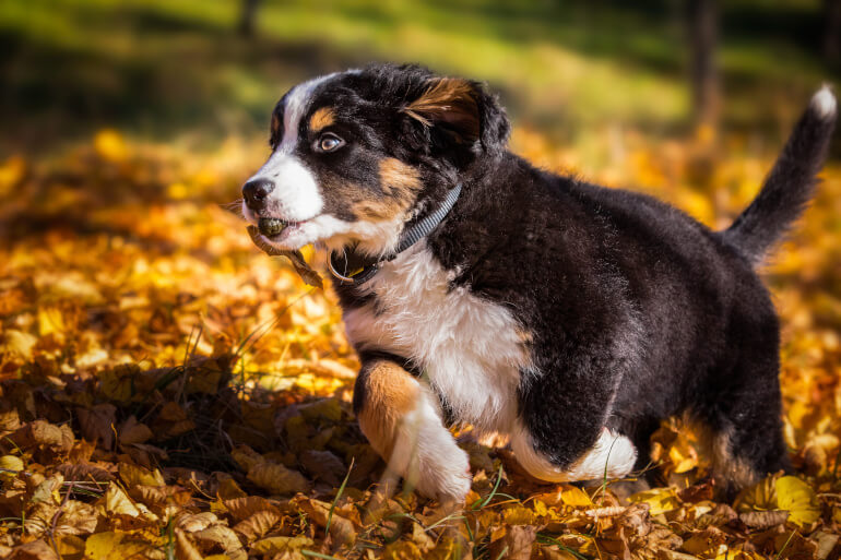 Berner Sennenhund Welpe in Bewegung