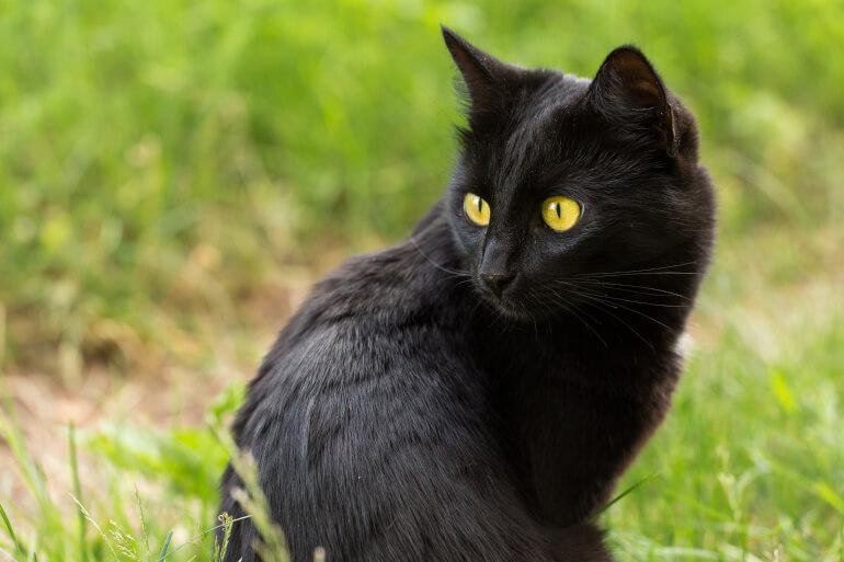 Bombay Katze im Freien